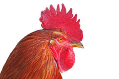 Isolated rooster portrait Royalty Free Stock Photography
