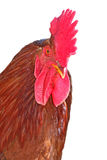 Isolated rooster portrait Stock Photography