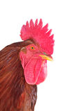 Isolated rooster portrait Stock Photos