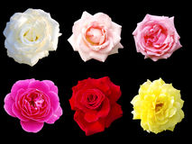 Isolated rose Stock Photography