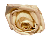 Isolated rose Royalty Free Stock Image
