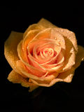 Isolated Rose. Yellow and golden rose with water droplets against a black background Stock Photography