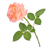 Isolated rose Royalty Free Stock Photos