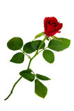 Isolated rose Stock Photo