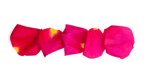 Isolated rose and bright pink petals. On white background Royalty Free Stock Photos