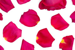 Isolated rose and bright pink petals. On white background Royalty Free Stock Photography