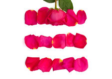 Isolated rose and bright pink petals. On white background Royalty Free Stock Photo