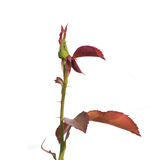 Isolated rose bud Royalty Free Stock Photography