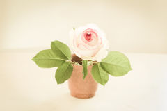 Isolated rose in pot Royalty Free Stock Photography