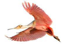 Isolated Roseate Spoonbill (Platalea ajaja) in fli Stock Photography