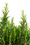 Isolated rosemary bush Stock Photo