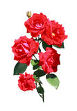 Isolated roses Stock Photo