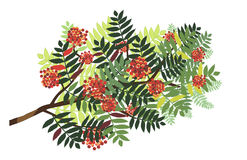 Isolated rowan branch with berries Stock Photos