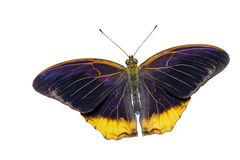 Isolated the royal assyrian butterfly Royalty Free Stock Images