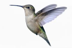 Isolated Ruby-throated Hummingbird on white stock image