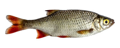 Isolated rudd , a kind of fish from the side. Live fish with flowing fins. River fish. Isolated rudd , a kind of fish from the side. Live fish with flowing fins Stock Photo