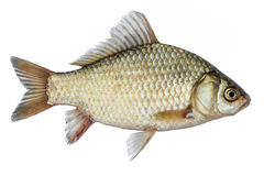 Isolated rudd , a kind of fish from the side. Live fish with flowing fins. River fish. Isolated crucian carp, a kind of fish from the side. Live fish with Stock Images