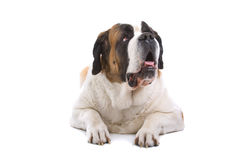 Isolated Saint Bernard dog Stock Photos