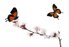 Isolated sakura blooms and two orange butterflies Stock Photos