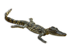 Isolated of saltwater crocodiles in Thailand, clipping path Royalty Free Stock Image