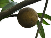 Isolated Sapodilla Plant Stock Photography
