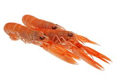 Isolated scampi on white background royalty free stock image