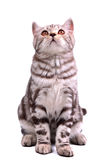 Isolated scottish fold kitten sitting looking up Royalty Free Stock Photography