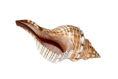 Isolated Sea Nautilus Shell Stock Photo