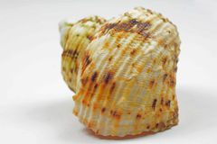 Isolated sea shell Stock Photo