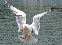 An isolated seagull coming into land Stock Photo