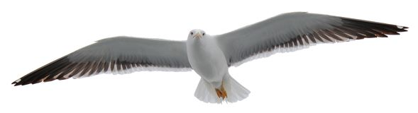 Free Isolated Seagull Flying Stock Photos - 165384393