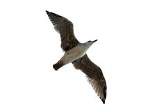 Isolated seagull. Isolated flying seagul on a white background Stock Photos