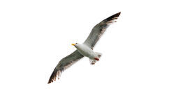 Isolated Seagull Stock Images