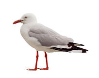 Isolated Seagull with Red Legs - Side View Royalty Free Stock Photography