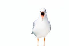Isolated seagull singing on lake Royalty Free Stock Photos