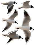 Isolated seagulls. Isolated photo of five seagulls flying around Royalty Free Stock Photos