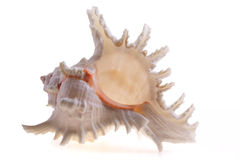 Isolated seashel Royalty Free Stock Image