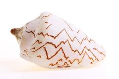 Isolated seashel Royalty Free Stock Photography