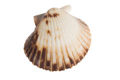 Isolated seashell on white. Clam type seashell isolated on white with clipping path Stock Photography