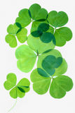 Isolated shamrocks Royalty Free Stock Photography