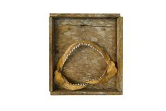 Isolated shark mouth in wooden box. Isolated shark mouth with teeth in wooden box stock photo