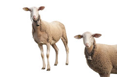 Isolated Sheep with Ear Chip Stock Photo