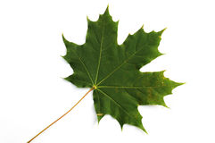 Isolated sheet of maple Royalty Free Stock Photo