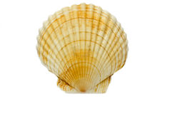 Isolated shell Stock Image
