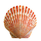 Isolated shell Royalty Free Stock Image