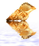 Isolated shell. On white background with reflection on water royalty free stock photos