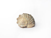 Isolated shell Royalty Free Stock Images