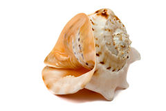 Isolated shell. An isolated seashell over white Royalty Free Stock Photography
