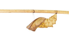 Isolated shell cocoon of common birdwing butterfly on white Stock Images