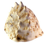Isolated Shell of a Helmet Snail Stock Images